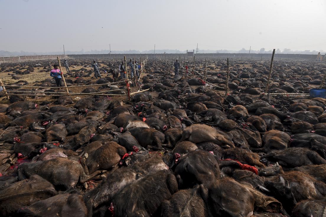 Comienza en Nepal el mayor sacrificio de animales del mundo que planea decapitar a 6.500 búfalos en dos días