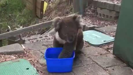 VIDEO: Un koala pide agua a los lugareños en medio de una ola récord de calor en Australia