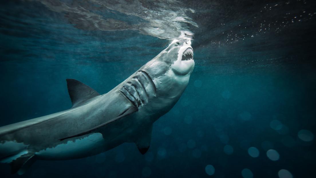 Un buzo fallece al ser atacado por un gran tiburón blanco en las aguas de Australia