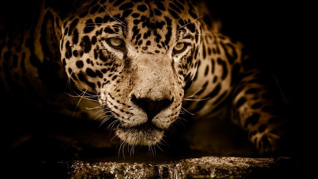 Una mujer termina con el brazo destrozado por acercarse demasiado a la jaula de un jaguar para tomarse una 'selfie'