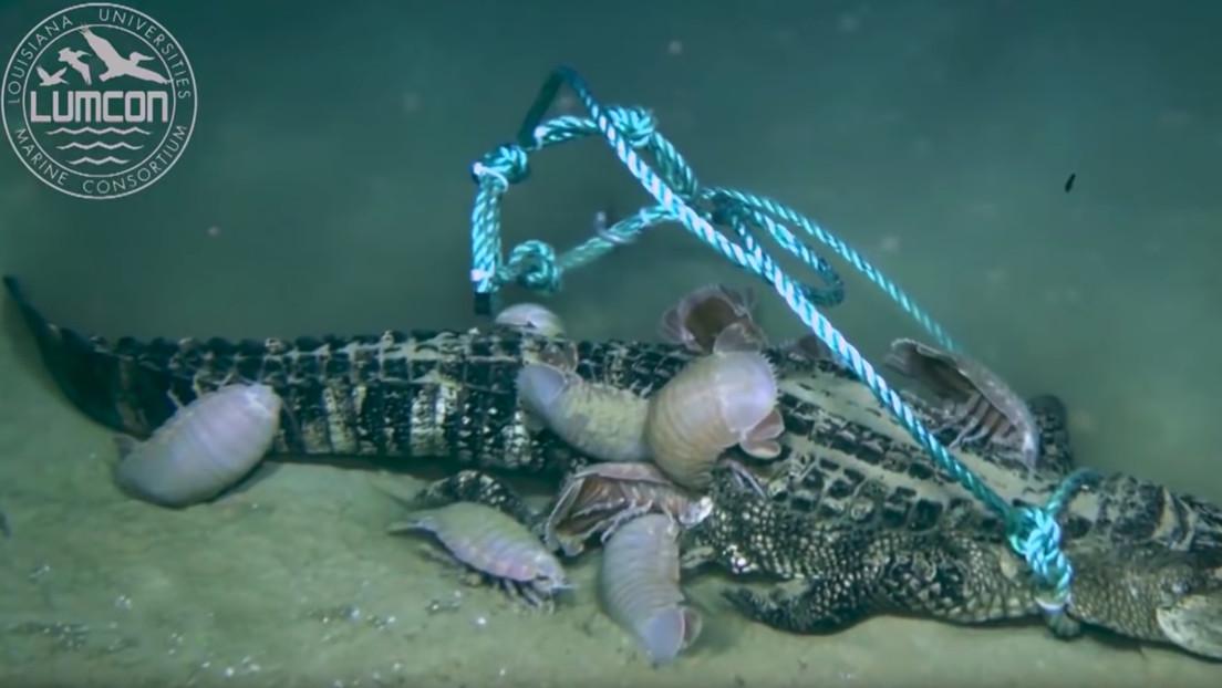 VIDEO: Colocan tres caimanes muertos en el fondo del mar para ver cómo los devoran y descubren una nueva especie
