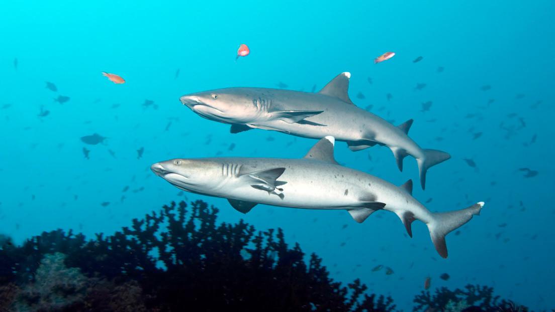 VIDEO: Cientos de tiburones invaden una bahía en Nueva Zelanda cerca de unos surfistas
