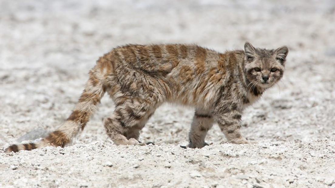Reaparece el gato andino por primera vez en 12 años en Argentina