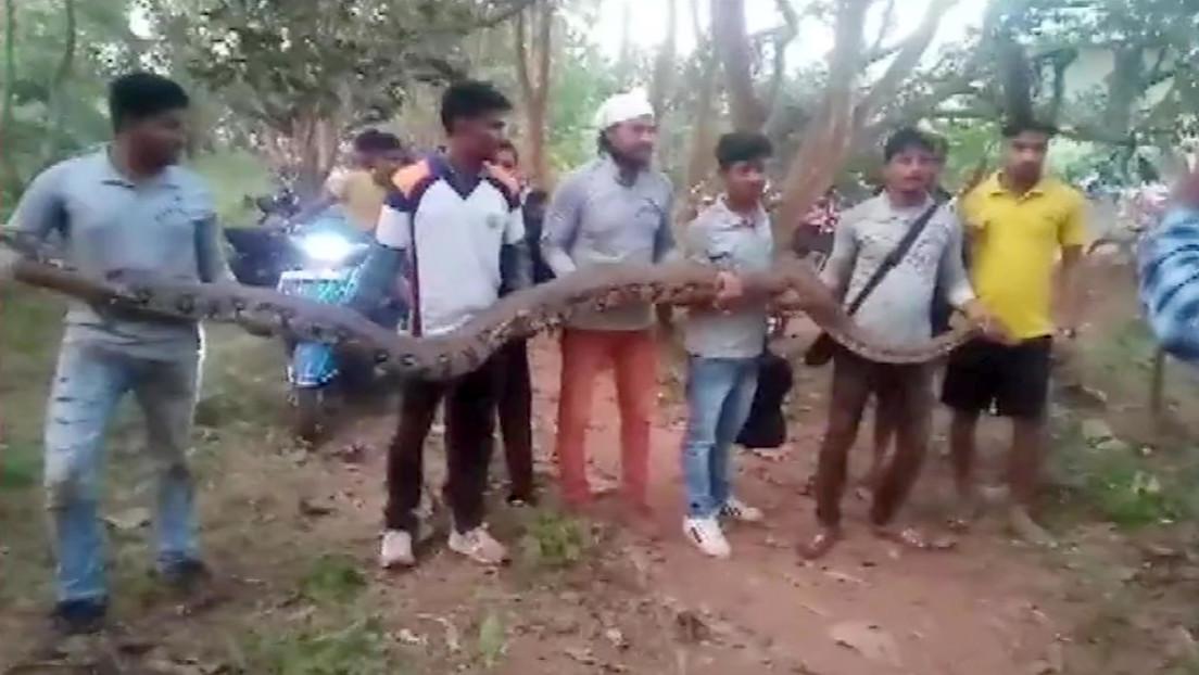 VIDEO: Sacan seis gigantescas pitones de una tubería en la India