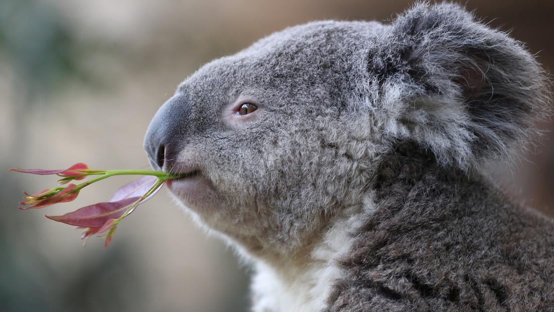 VIDEO: Una reportera se traga una leyenda urbana y viste una armadura para hacer un reportaje sobre koalas venenosos