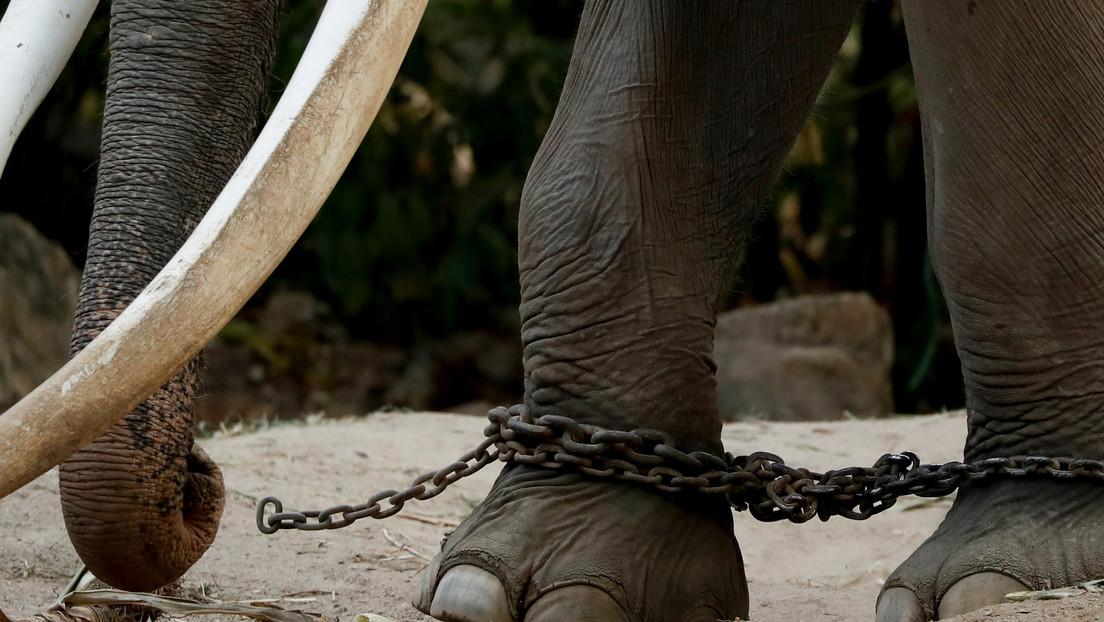 Video de un elefante gimiendo de dolor mientras lo están maltratando en un templo budista desemboca en una campaña para salvarlo