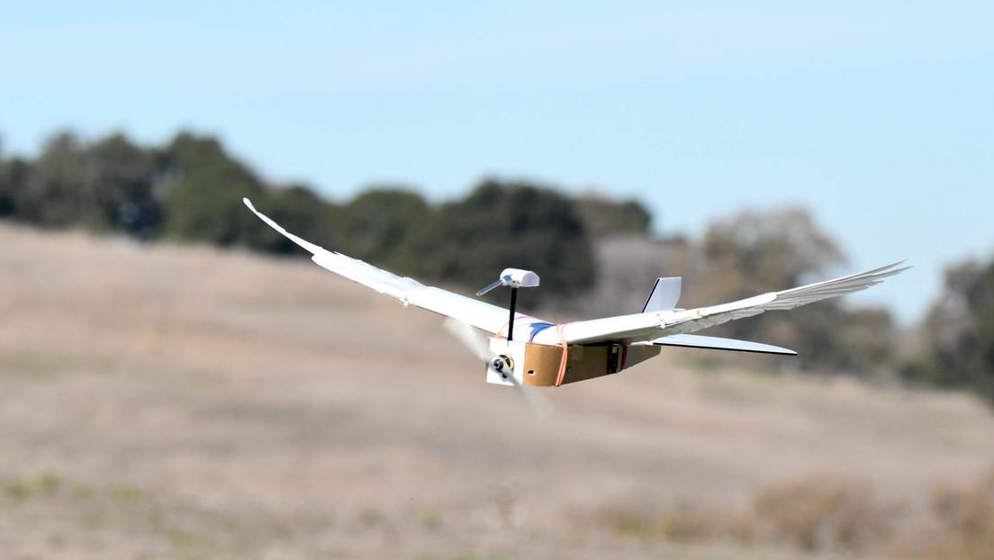 VIDEO: Presentan a PigeonBot, el primer robot con plumas de verdad que puede volar como una paloma