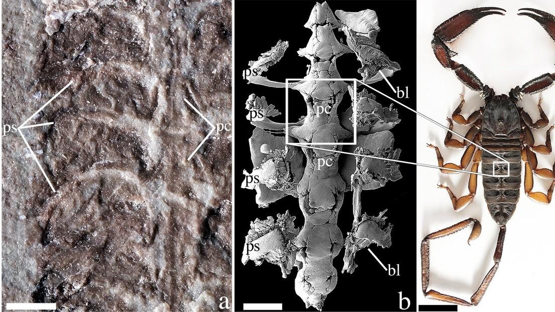 Esta arcaica especie de escorpión de 437 millones de años podría haber sido una de las primeras especies en andar por la Tierra