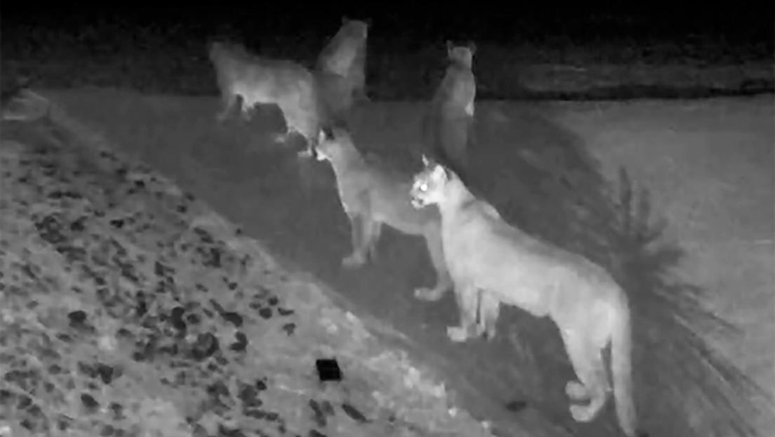Una cámara de seguridad capta raras imágenes de cinco pumas juntos en California (VIDEO)