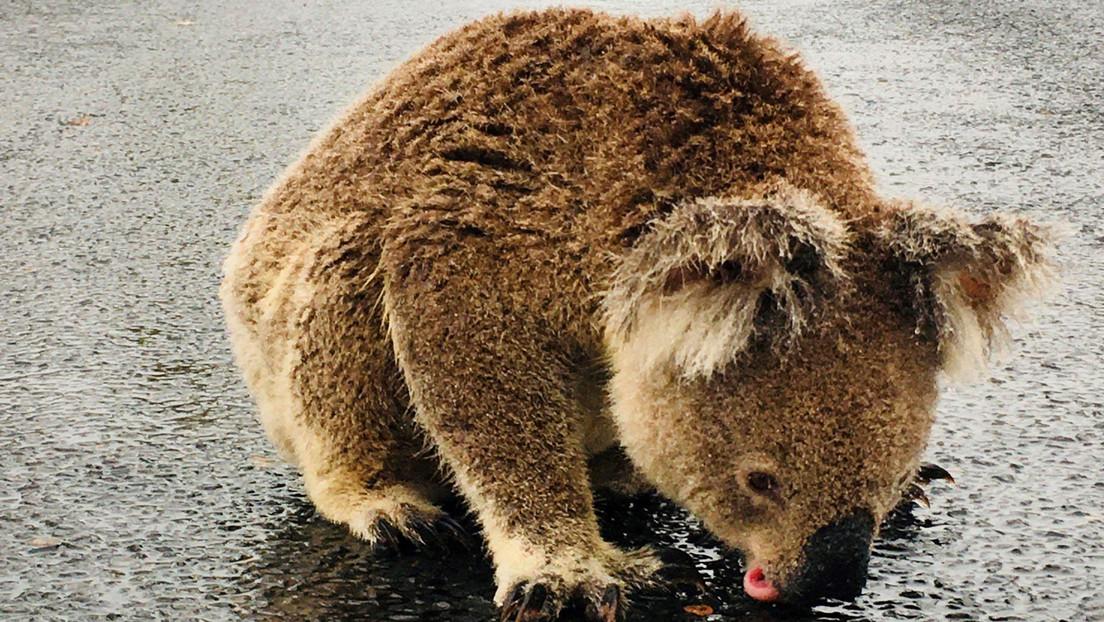 VIDEO: Captan a un koala lamiendo el asfalto mojado en una carretera de Australia tras las esperadas tormentas