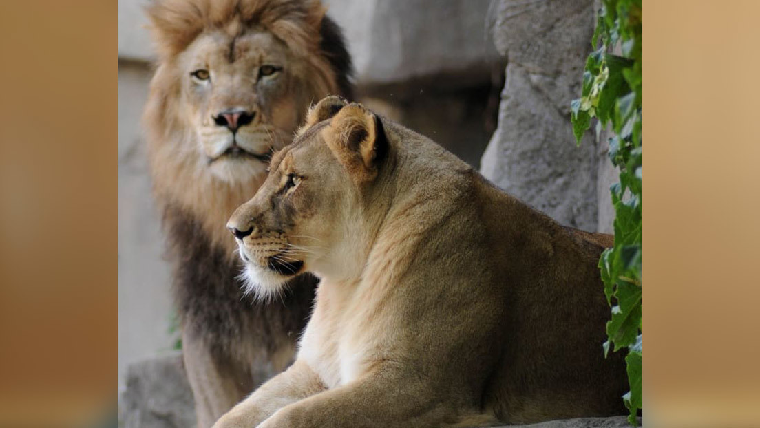 Una leona de un zoológico sufre una caída y es sacrificada días después de perder a su pareja