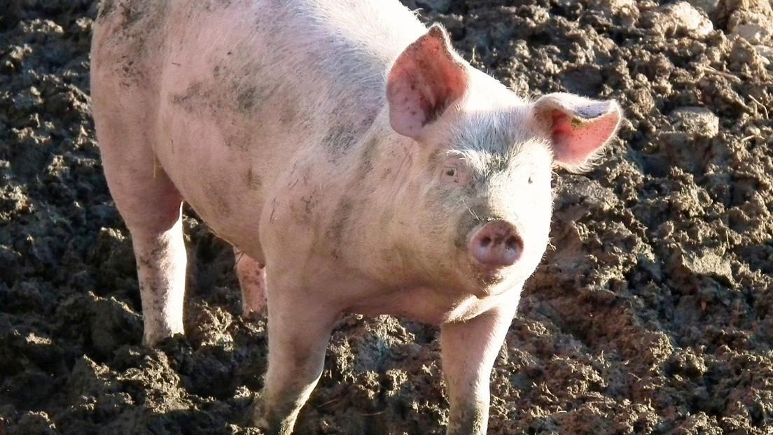 Lanzan a cerdo del bungee para promocionar parque de diversiones