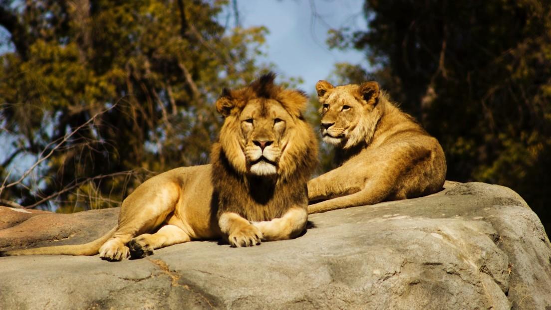 FOTOS: Un hombre lanza un SOS para salvar a un grupo de leones desnutridos en un parque de Sudán