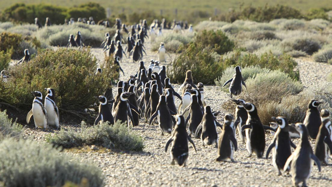 Demandan a turistas que tomaron del cuello a pingüinos para fotografiarse en un área protegida de Argentina