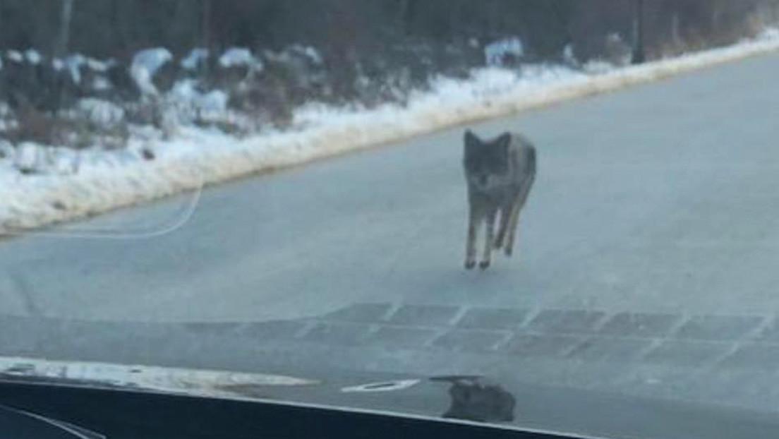 Un hombre estrangula a un coyote que atacó a su hijo de dos años