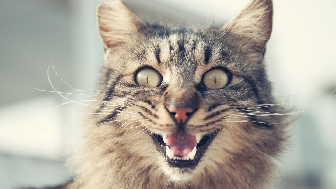 """Una gata """"enloquecida"""" mantiene dos días a su dueña encerrada en la cocina"""