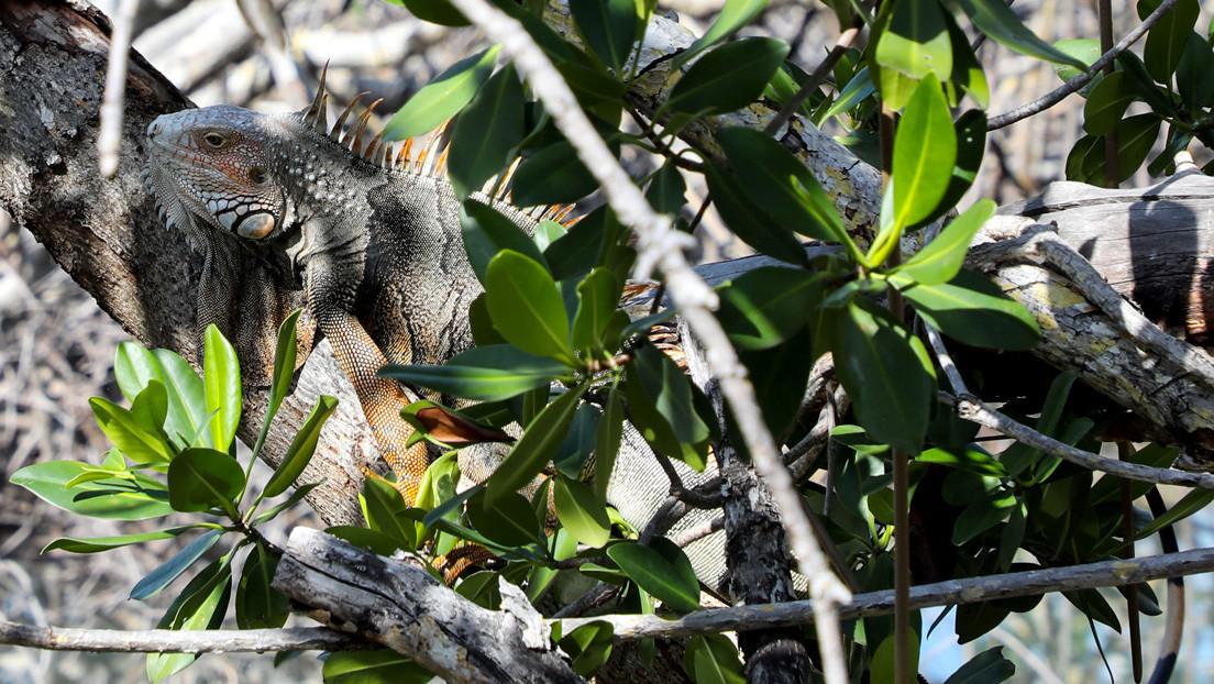 Emiten una alerta en Florida ante el riesgo de que las iguanas congeladas caigan de los árboles