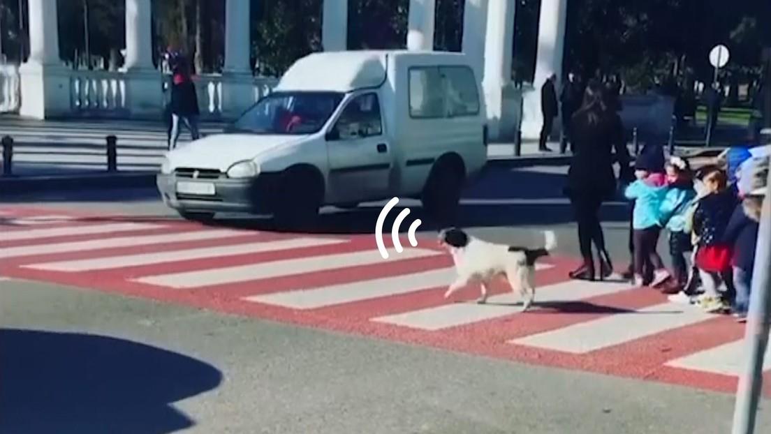 Un perro callejero ayuda a un grupo de niños a pasar por un cruce peatonal (VIDEO)