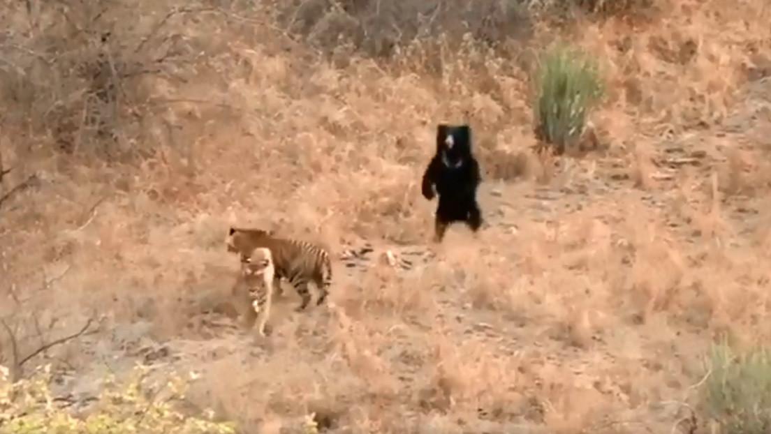 VIDEO: Un oso perezoso se enfrenta a dos tigres en un parque nacional de la India