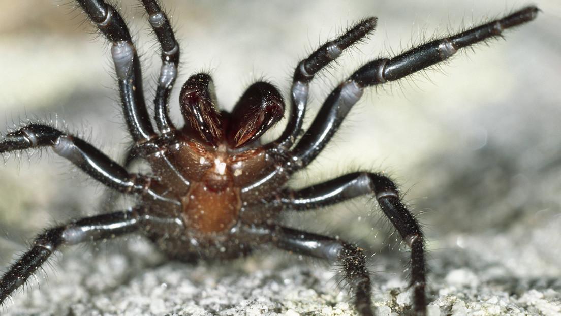 Otra 'plaga de Egipto' se cierne sobre Australia: ahora son arañas venenosas