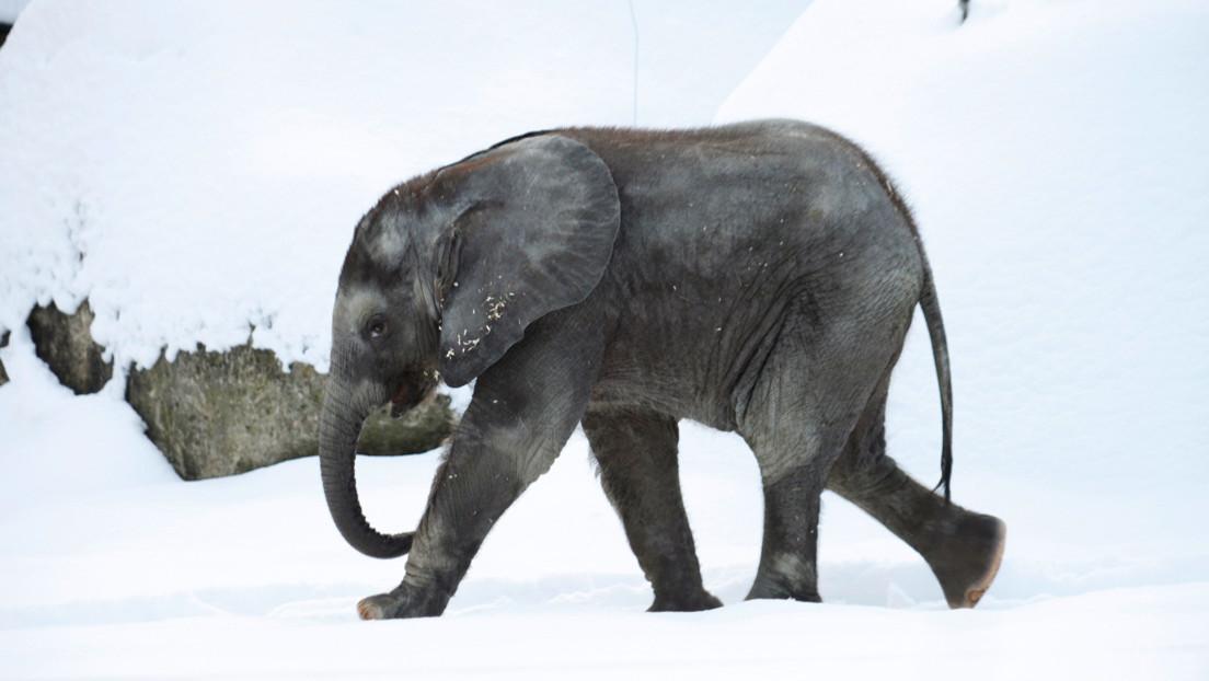 Una elefanta escapa para bañarse en la nieve en Rusia (VIDEOS)