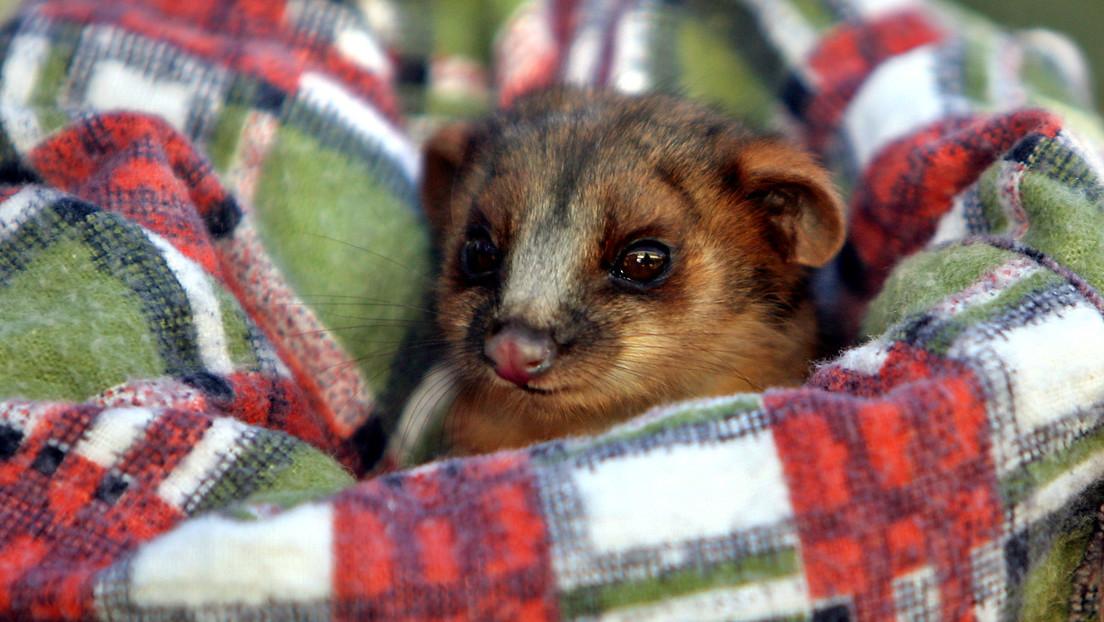 Un marsupial nocturno destroza una oficina, se acomoda en un rincón y se convierte en un meme viral sobre la dureza de los lunes