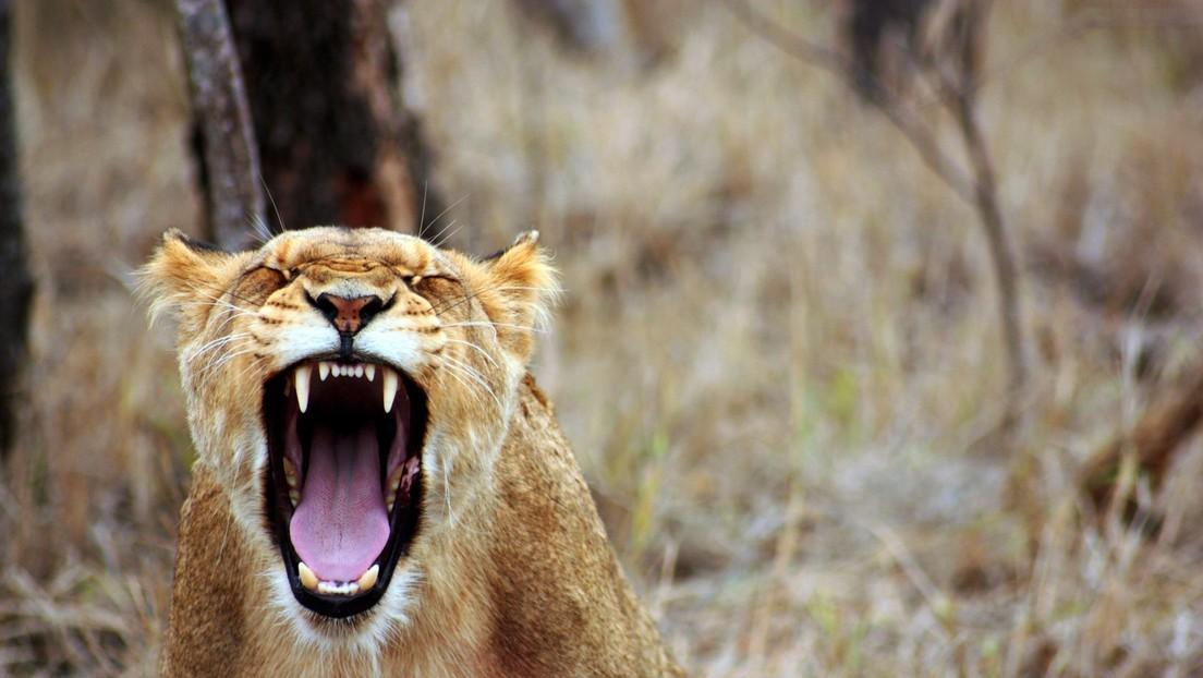 VIDEO: Una leona hambrienta saca a un jabalí de su madriguera en Sudáfrica