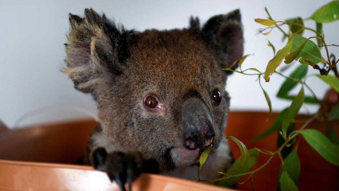 Una estrella de la televisión británica propone vender la piel de los koalas muertos en los incendios de Australia