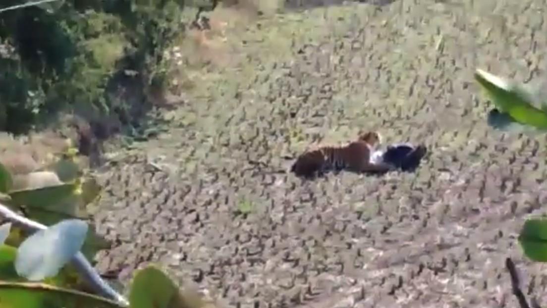 VIDEO: Un tigre se acuesta sobre un hombre y este finge estar muerto para salvarse