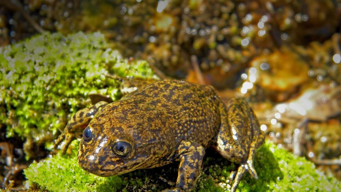 Científicos chilenos intentan salvar de la extinción a las últimas ranas del Loa