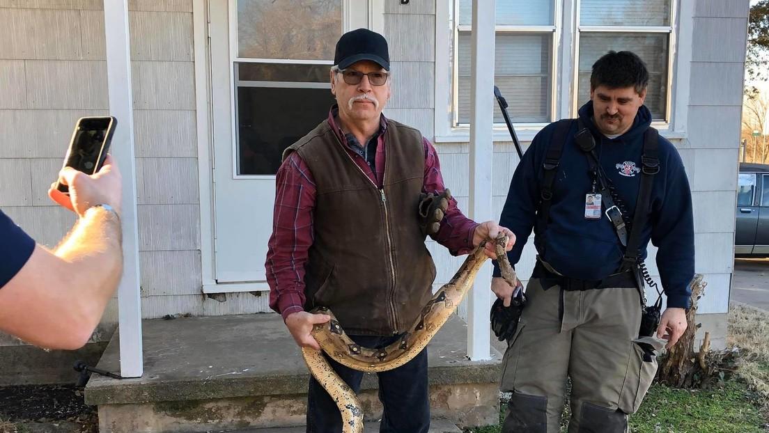 Un hombre buscaba sus llaves entre los cojines de su sofá y encuentra una boa constrictor de dos metros de largo