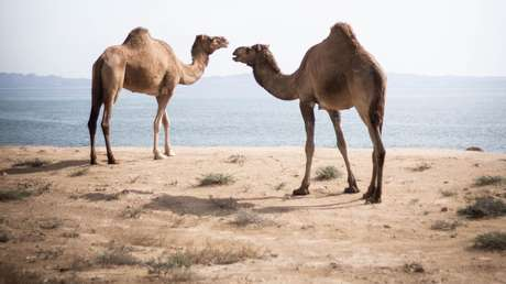 Líderes aborígenes de Australia dan luz verde para exterminar a 10.000 camellos