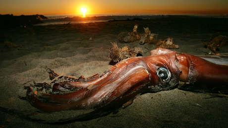 Secuencian el genoma del calamar gigante, un animal que nunca ha sido capturado vivo y del cual no se sabe prácticamente nada