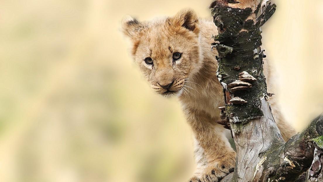 VIDEO: Un babuino roba un cachorro de león, lo acicala subido a un árbol y crea un momento a lo 'El rey león'