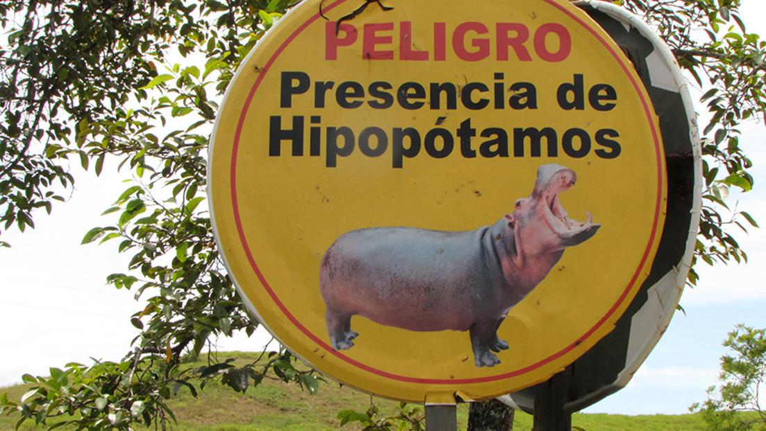 De cuatro ejemplares a más de 80: cómo los hipopótamos de Pablo Escobar ponen en peligro el ecosistema colombiano