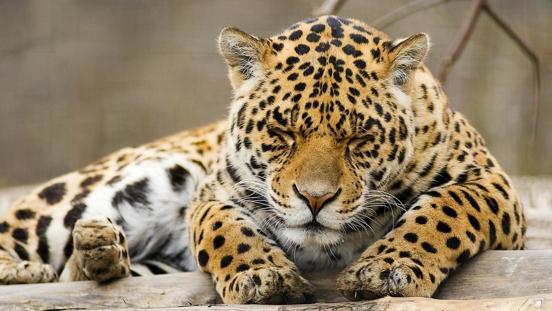 Un conductor británico frena por 'un leopardo muerto' en medio de la carretera, pero le esperaba una sorpresa