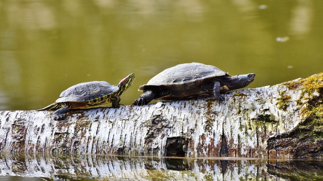 La tortuga que 'asomó la cabeza' tras sobrevivir al meteorito que acabó con los dinosaurios