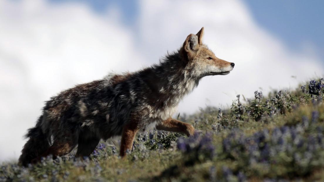 VIDEO: Captan el momento exacto en que un coyote espera a un tejón para atravesar un túnel