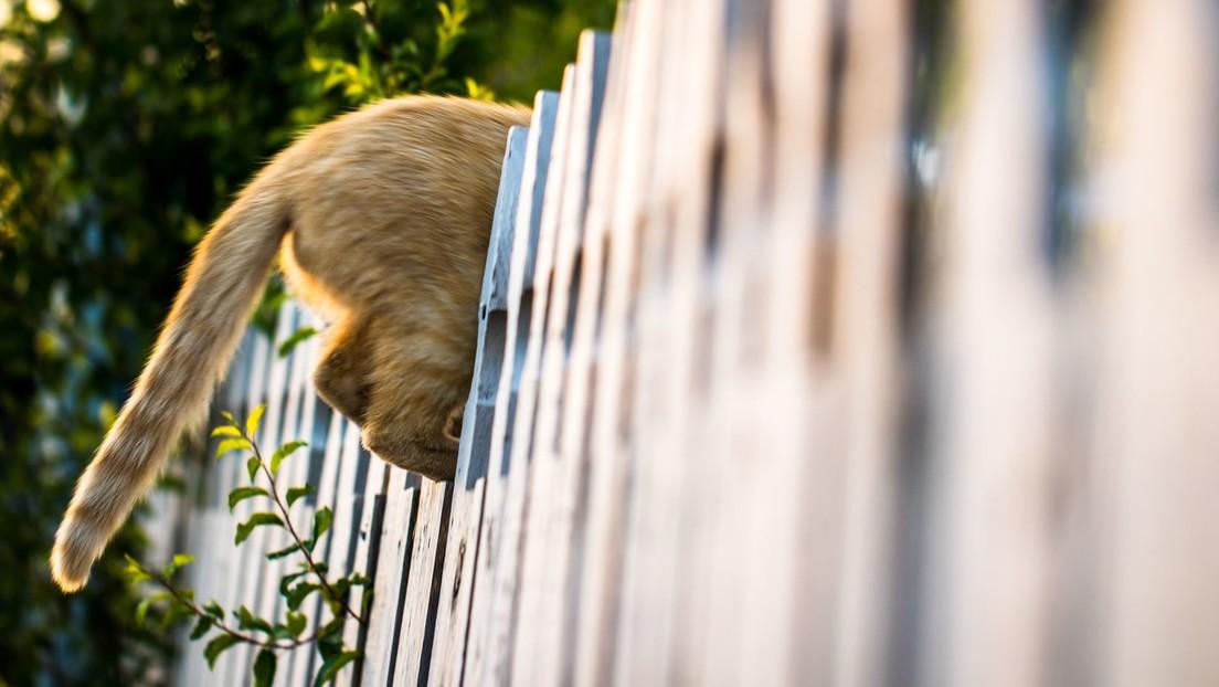 VIDEO: Un gato entrado en carnes se atasca en una valla pero logra liberarse