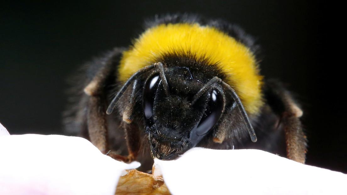 Los abejorros 'caen como moscas' por el calentamiento global: podrían extinguirse en unas décadas