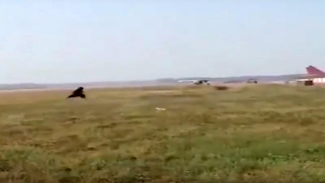 VIDEO: Empleado de un aeropuerto se disfraza de oso para ahuyentar a los monos de la pista de aterrizaje