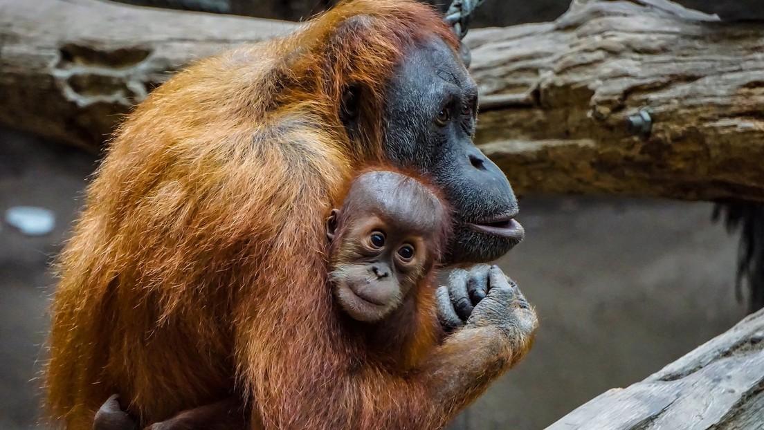 ¿Te echo una mano?: Un orangután ofrece ayuda a un hombre metido en un río con serpientes (FOTO)
