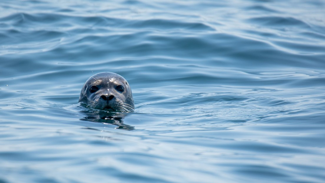 VIDEO: Una foca sorprende a un surfista y se interpone en su camino