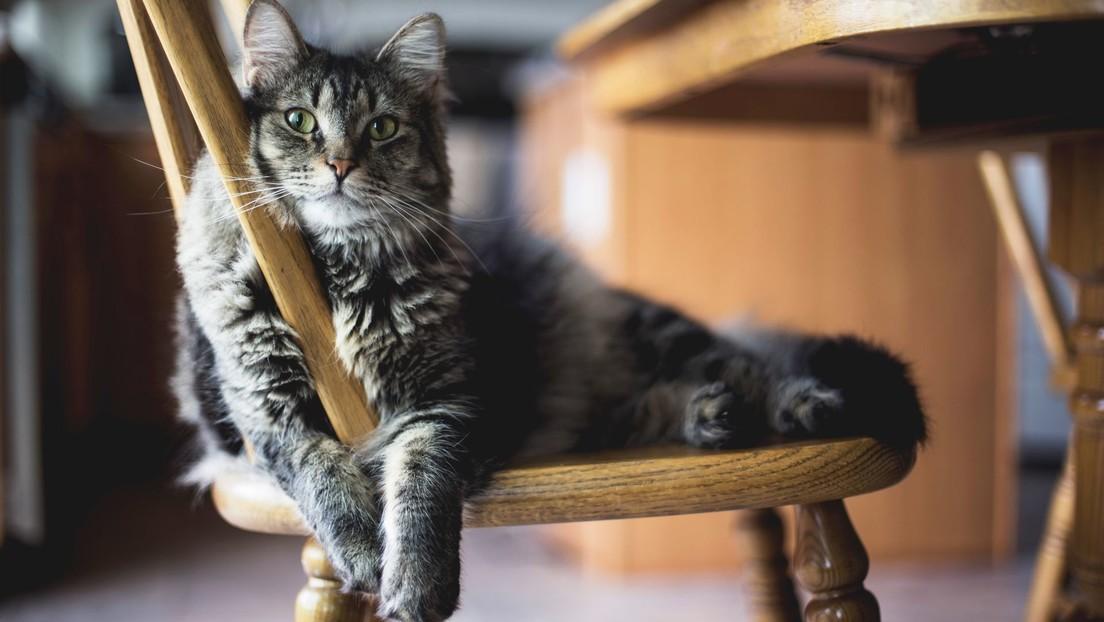 ¿Tienes alergia a los gatos? Científicos descubren que podría ser su arma defensiva