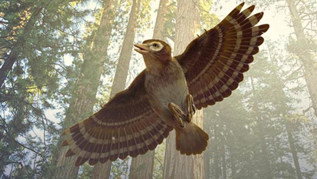 FOTOS: Descubren el fósil de una ave  con dientes preservado en un ámbar datado del Cretácico