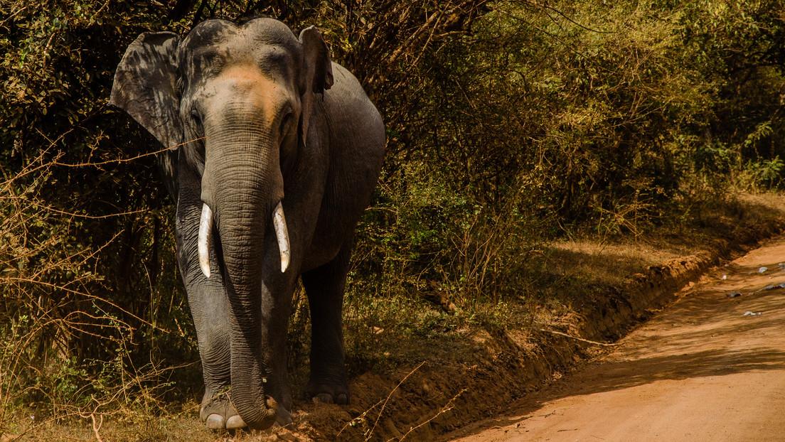 VIDEO: Un elefante indio detiene un auto con turistas para quitarles la comida