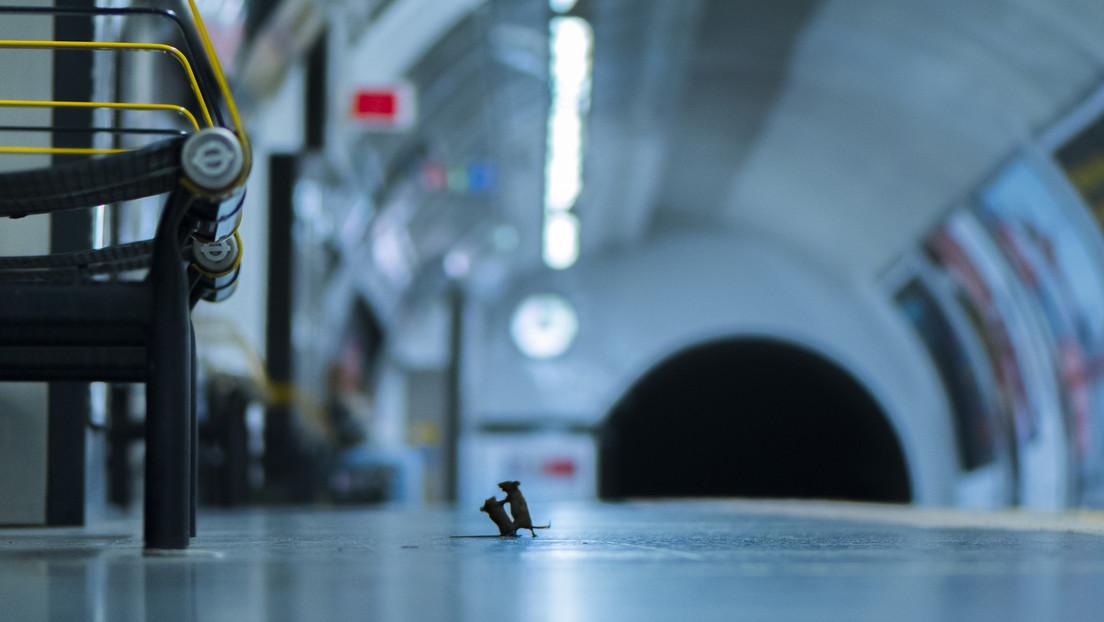 Pelea de dos ratones por unas migas en el metro, la premiada fotografía de película que corta la respiración