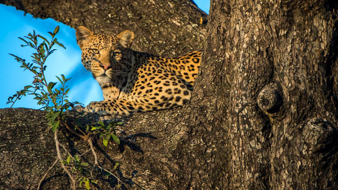 VIDEO: Un leopardo se refugia en un árbol para escapar de un perro