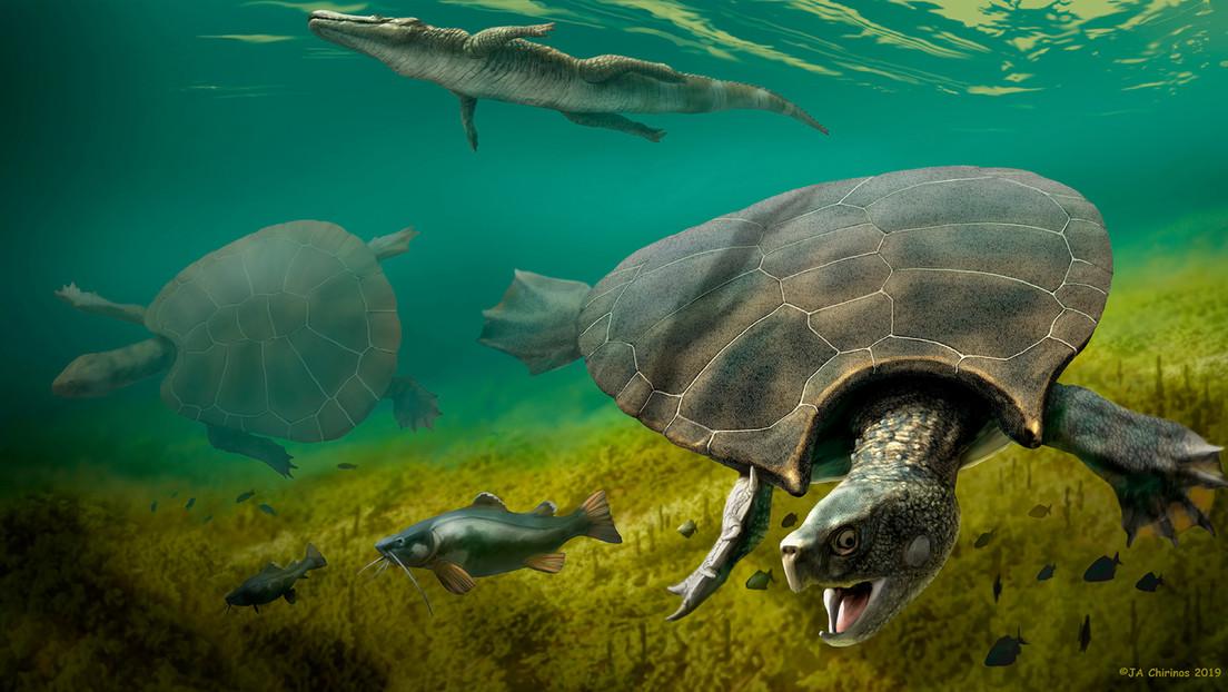 Nuevos fósiles revelan que tortugas gigantes, del tamaño de un automóvil, recorrieron Suramérica