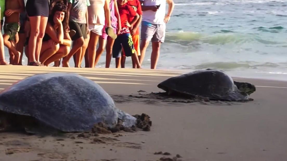 VIDEO: Liberan en México a tortugas intoxicadas por una marea roja
